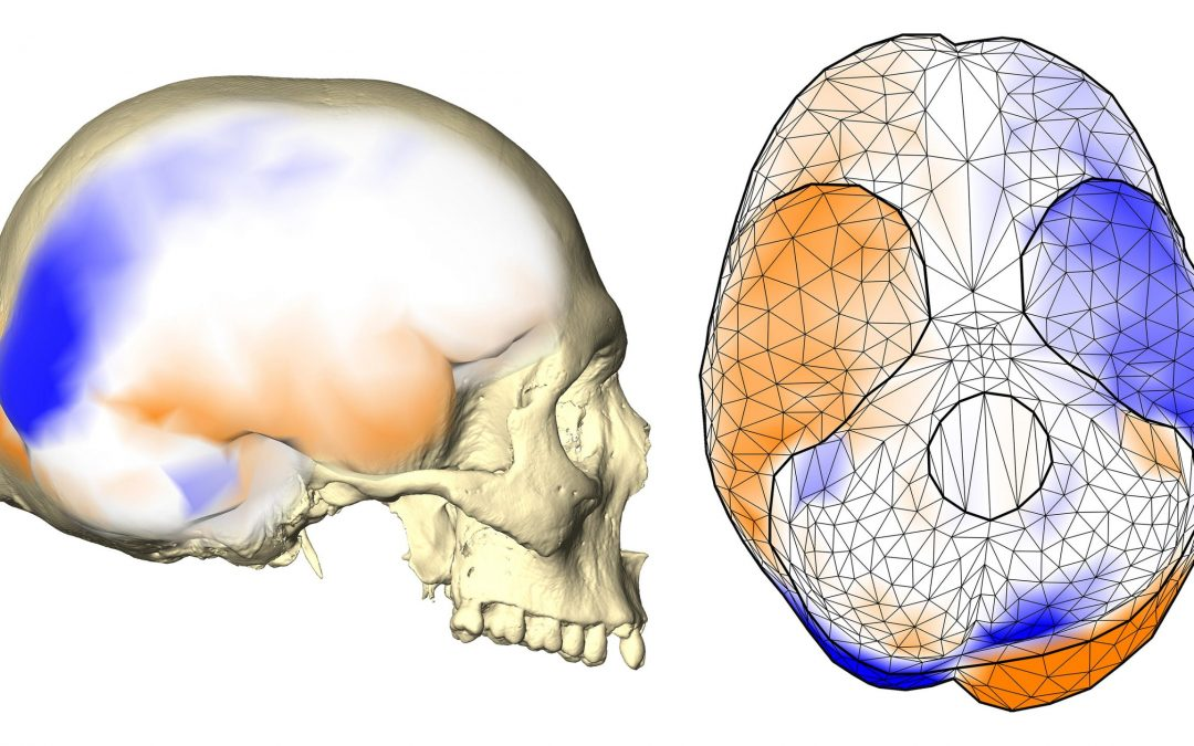 عدم تقارن مغز انسان در تکامل